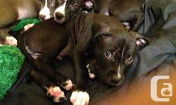 I have four beautiful, show quality pitbull puppies for sale; three female and one male.These pups come from the best bloodlines and are guaranteed to be show stoppers. Very flashy blues. Both the sire and dame live on site an may be veiwed. Puppies