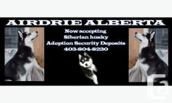 """YOUR FUTURE SIBERIAN HUSKY PUPPY IS FAMILY FRIENDLY """"The puppy pick waiting list is now posted up on our website"""" All security receipts are logged in for customer service THIS SPRING SUMMER AND FALL OF 2014. PUPPY ADOPTION SECURITY DEPOSIT $400.00"""