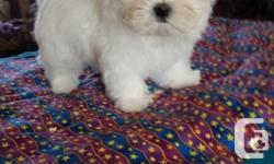 Adorable little Maltese puppy, looking for her for ever home. Our puppy have been born and raised in a beautiful clean family home, and have been given the very best start in life,with around the clock care and attention.She is well socialised,