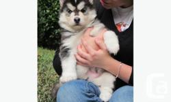 So suitable for most allergy sufferers, fun, loving, good with children and other pets and very intelligent and easy to train.They will make wonderful family pets and companions.All puppies are vet checked and vaccinated with the first part of the primary