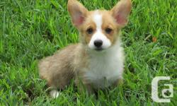 Hello, I am looking for a five stars forever home for my beautiful corgi babies. Chip is a friendly dog, loves human company, very gentle when play with kids, is good around other dogs, can be around with cat, although would be best homed as an only dog.
