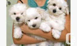 They are the cutest Teacup Maltese puppies. And not only are they cute, but they have a great personality too. They love to be around people and you will definitely enjoy being with them! Before coming to you they will be up to date on their vaccinations.