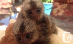 zx Free Baby pygmy Marmoset monkeys for adoption call/text(2.1.0) 9.2.0.5.7.0.2 Cute Healthy Baby Pygmy Marmoset Monkeys for Adoption We now have a male and a female Marmoset ready to leave to loving home and caring family. They are well trained,