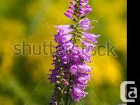 1 gallon perennial plants Phlox pink/ white Chocolate