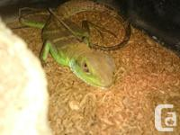 Healthy young Chinese water dragon eating well on meal