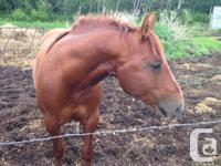 Weapon is a 14.3 hh, solid constructed AQHA stallion.
