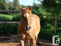 14 y/o sorrel, quarter horse gelding. Great on the