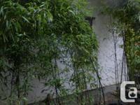 15 gallon size Black Bamboo (Phyllostachys nigra) black