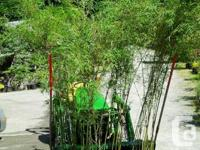 Phyllostachys bisettii fast growing Bamboo good for a