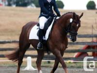 """Despicable Me: aka """"Boon"""" is a 15 hh 12 year old Morgan"""