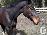 Very sweet natured BIG gelding for lease! Fun to ride,