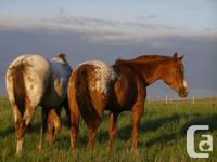 2 Registered Appaloosa broodmares, direct daughters of
