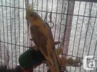 A cockatiel( I paid 200) , light blue budgie( I paid