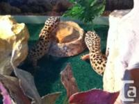 2 wonderful leopard geckos, Lizzy and also Abby, are 1
