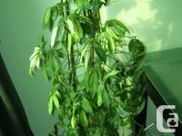 """This plant is about 56"""" high from floor to top leave."""