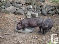 2 Pot belly porkers both gals, fantastic pet dogs