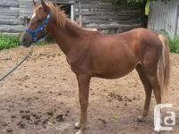 Shay is a 2 year old, POA/BRP filly. Sorrel with appy