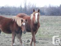 Kayce is a yearling Welsh/BRP [british riding pony]