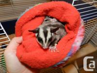 2 young female sugar gliders. Include cage, pouch,