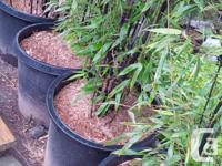 Black Bamboo (Phyllostachys nigra) striking black canes