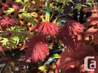 Maples have long graced the landscapes of Victoria,