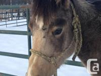 FLR SASSYS FLICKA 2014 AQHA Buckskin filly. This