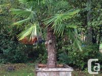 Three large Windmill Palm Trees for sale. All three for