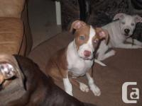 hi i have 3 pitbull puppies for sale to good homes