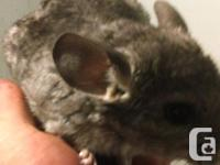 I am looking to rehome some chinchilla's once they