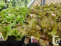 ...with our newest arrivals of Lactuca sativa