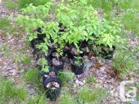 Yellow birch seedlings and saplings make beautiful