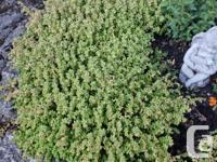 Sedum albumis a creeping, mat-forming, evergreen