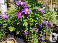 Landscape size Clematis, 4-6' in 5 gallon pots. In