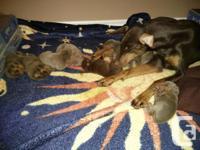 4 Dobbermans pures a vendre née le 18 fevrier, 1 males