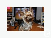 I have one of a kind 4 Lbs 13 Mo. Old Female Yorkie