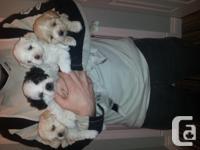 Hello ! I have four beautiful shitzu/maltese for sale