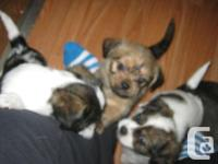 4 adorable Shih Tzu and Chihuahua cross puppies looking