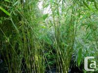 Arrow Bamboo (Pseudosasa japonica) Fast increasing