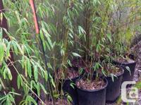 Fargesia denudata clumping Bamboo, no root barriers