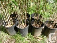 Green Onion Bamboo (Pseudosasa japonica tsutsumiana)