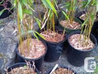 Strong upright growing Bamboo to 25 feet, ideal for