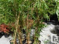 Semiarundinaria yashadake Kimmei Bamboo, Yellow culms
