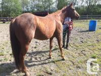 14.1hh 6 year old Quarter Horse gelding. Has had 15
