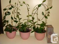 "7 Desert Rose Pink Plastic 6"" Plant Pots - Indoor or"