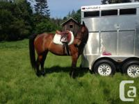 """""""Just a Dixie Chic"""" 15.2 HH Registered Breeding stock"""