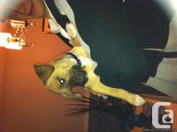 8 week old puppy needs a loving home mix lab/boxer