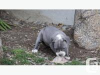 ADBA Bluenose Pit bull Puppies, born Dec 3, Puppies are