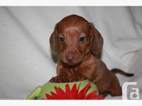 THESE ADORABLE MINI DACHSHUND PUPS are home raised Vet