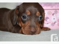 THESE ADORABLE MINI DACHSHUND PUPS ARE READY FOR THERE
