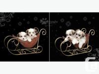 We have one, handsome Shih Tzu x Poodle boy left (in